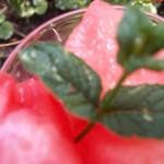 Vodkás görögdinnye